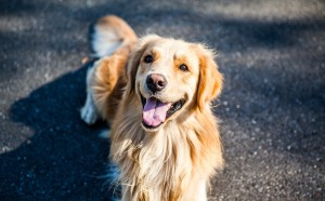 golden-retriever-1059490_1920